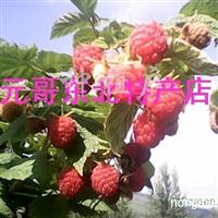供应红树莓果树苗