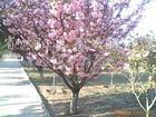 供应无患子、移栽香樟、合欢、榉树、朴树、复叶槭