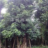 供应重阳木(秋枫)