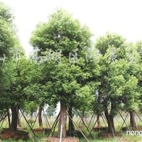 供应香樟、秋枫、小叶榕、盆架子等全冠风景树