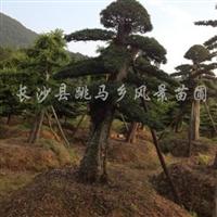 供应造型榆树