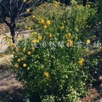供应棣棠、金银木、贴个海棠、迎春、迎夏等