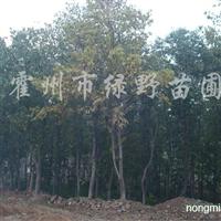 供应10-20公分杜仲树