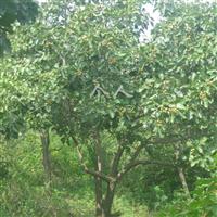 供应山楂树