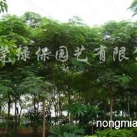 供应凤凰木