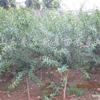 供应石榴树、石榴果