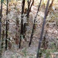 供应青竹、淡竹、枣园竹、刚竹、金镶玉竹、黄竹、黄桃竹