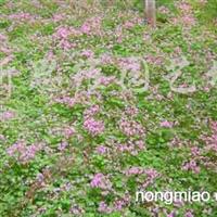 售白三叶、马尼拉、四季青、葱兰、红花酢浆草