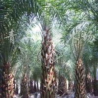 供应中东海枣和绿化苗木