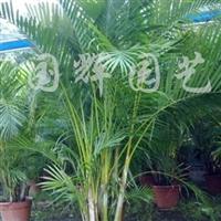 供应散尾葵
