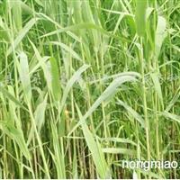 供应白洋淀芦苇种苗