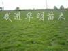 供应马尼拉、高羊茅、天堂草、混播黑麦草