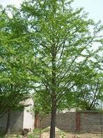 供应银杏苗木
