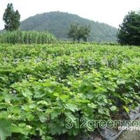 供应李子树、杏树、苹果苗、山定苗、酿酒葡萄苗长条