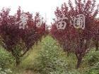 供应1-3-5-8cm红花紫薇、紫荆、红叶李