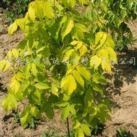 供应乔灌木金叶复叶槭、金叶垂榆、金叶风箱果