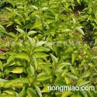 供应乔灌木紫叶风箱果、金枝��木、金叶红瑞木