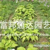 供应宿根地被植物白玉簪