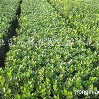 供应灌木大叶黄杨
