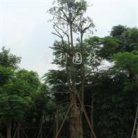 供应盆架子胸径50-60cm