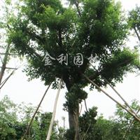 供应细叶榕胸径25-30cm