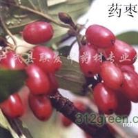 供应优质药枣(枣皮、山茱萸)树苗100万株