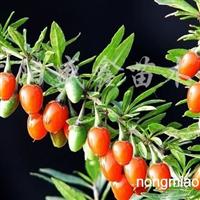 供应枸杞苗、各种绿化苗