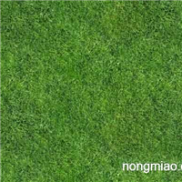 供应果岭、百慕达、混种黑麦草(冬季常绿)