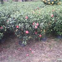 供应大红花和红花美人蕉