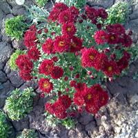供应优质耐寒宿根花卉