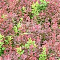 供应紫叶小檗