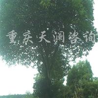 供应直径20-100公分实生桂花树、银杏树