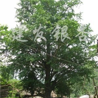 供应银杏树