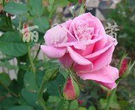 供应月季种苗和盆栽月季