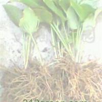 供应玉簪花种根