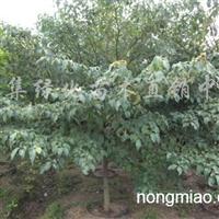 供应混批绿化苗木乔木灯台树
