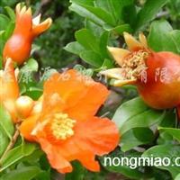 供应各种规格优质石榴苗木、牡丹花石榴苗