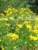供应耐寒耐旱宿根地被花卉