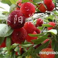 供应红梅、绿梅、杨梅、茶梅、杜鹃等苗木