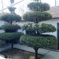 供应造型景观树