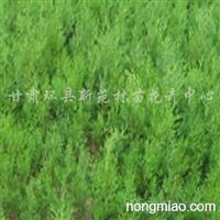 急需30厘米以上3年生营养袋油松苗