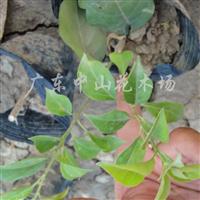 供应绿化苗木勒杜鹃、长春花、鸭脚木、龙船花