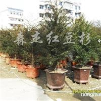 供应红豆杉苗木盆景