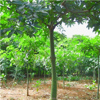 供应发财树