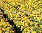 供应草花彩叶草、孔雀草、万寿菊、一串红、鸡冠花