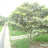 供应白玉枇杷树、香樟树