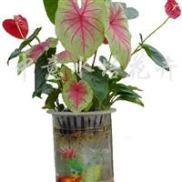 供应水培红掌花叶芋组合