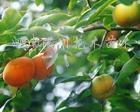 供应柿树、刺槐、臭椿树、苦楝