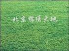 供应草坪草--早熟禾高羊茅