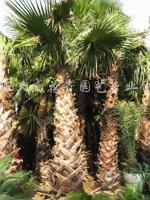 供应华盛顿棕榈